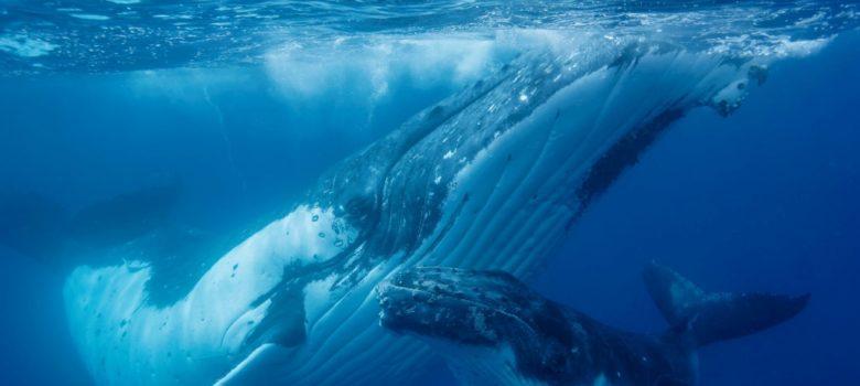 ザトウクジラと泳ぐ!思い出に残る体験
