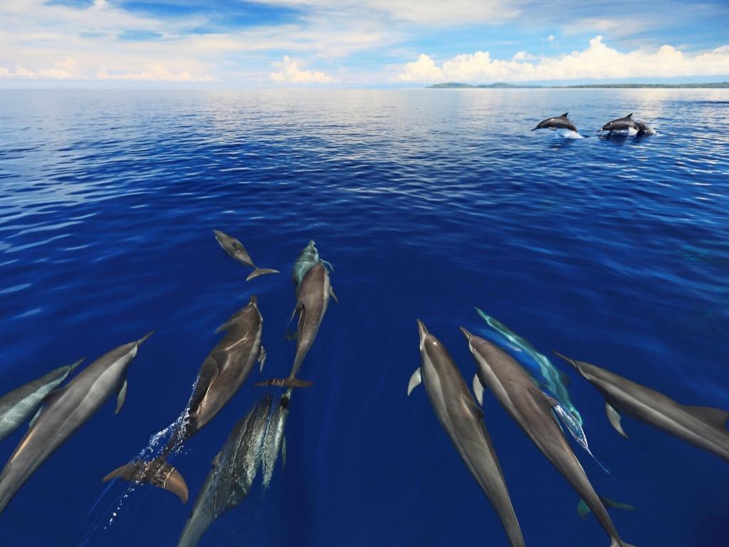 ハシナガイルカの群れを間近に見て、ボートで一緒に泳ぎましょう